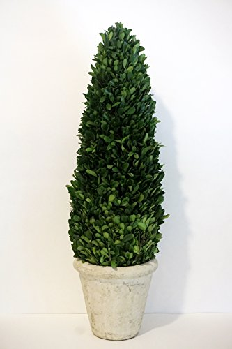 Preserved Boxwood Cone Tree Topiary 20 by Tradingsmith
